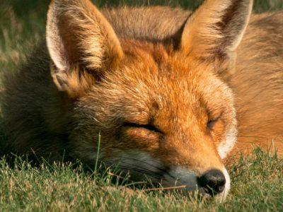 the fox and hedgehog